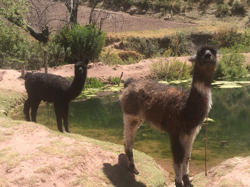Llamas at the Rescue Center