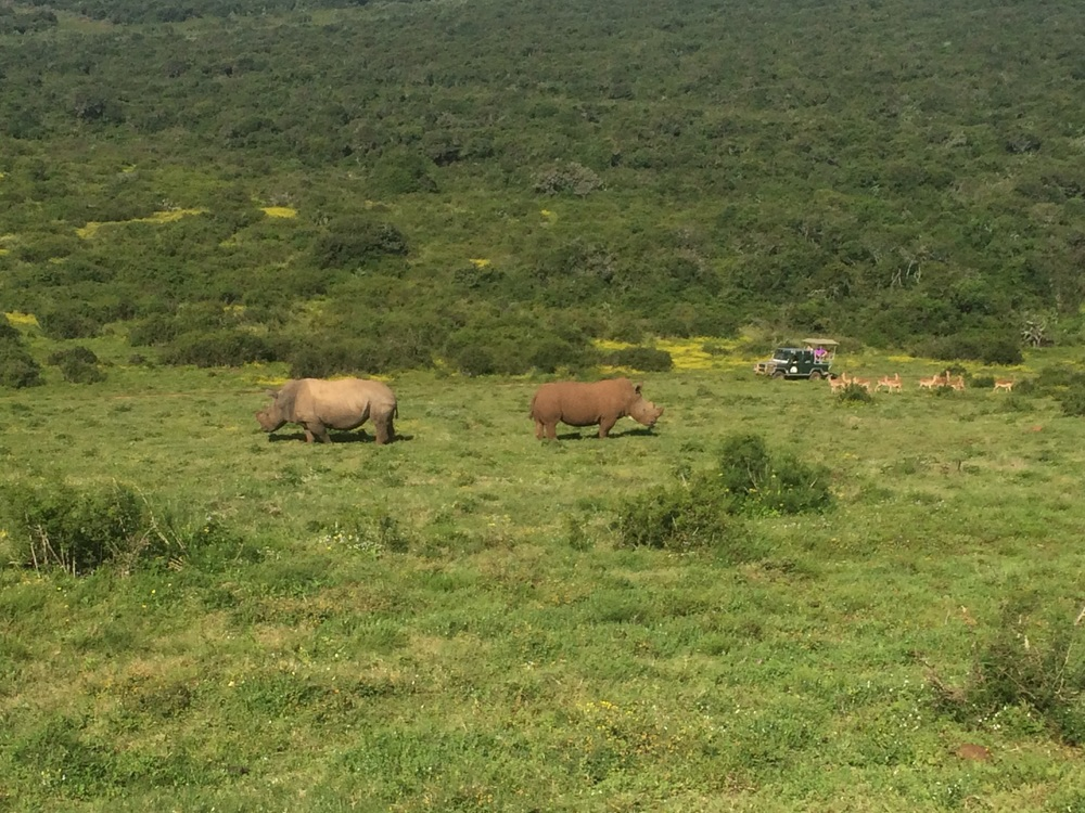 These rhinos were saved after their horns were stolen, but the male has become more aggressive trying to protect the female.