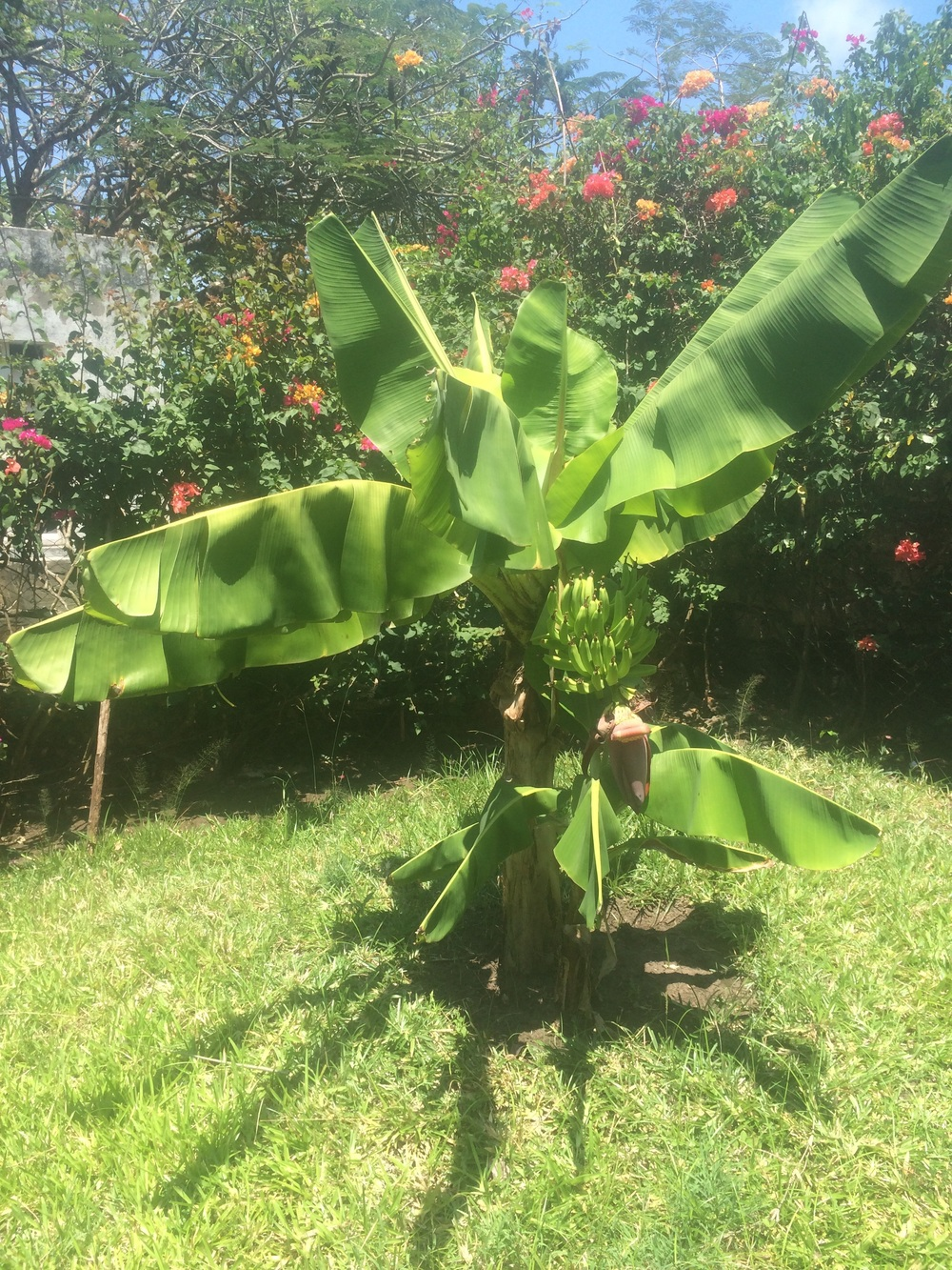 Banana tree. We saw a monkey on the tree behind it on the next property.
