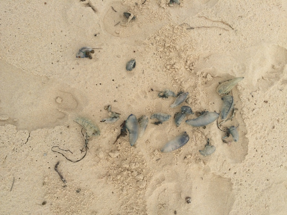 We found these blue bottles on the beach in Batemans Marine Park. Apparently, if you encounter them in the water, their long tentacles can sting you.