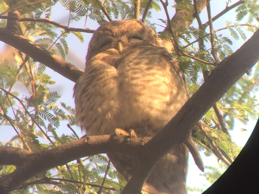 An owl napping in the morning sun.