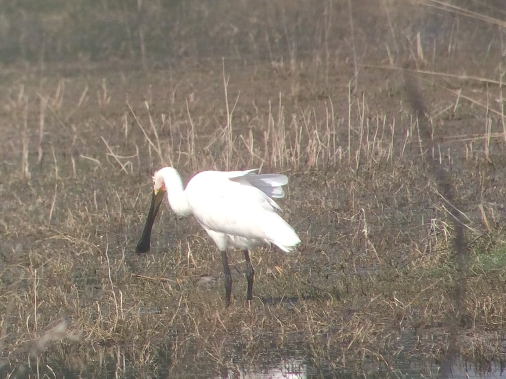 The graceful spoonbill at Keoladeo Ghana National Park.