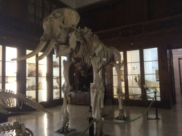 Elephant bones at the Zoology Museum