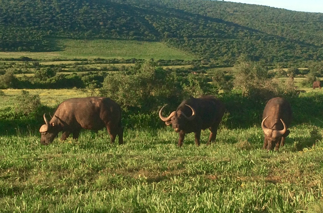 Cape Buffalo grazing at Addo Elephant National Park
