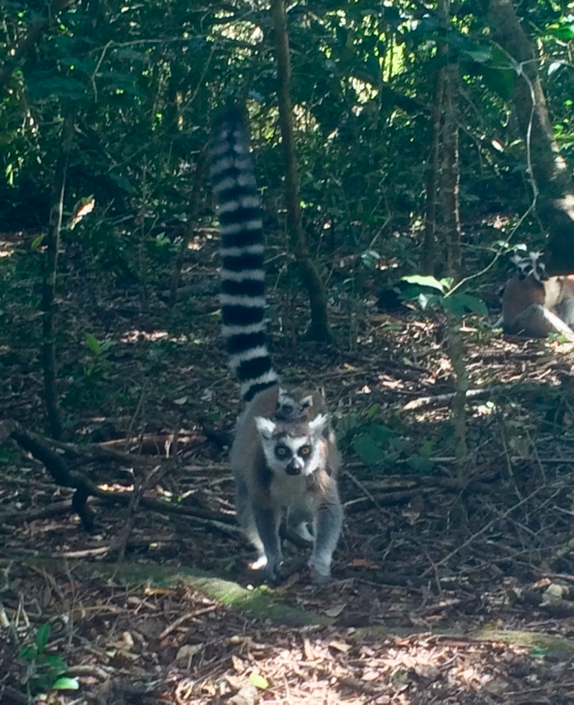 A ringtail lemur. Can you spot its baby?