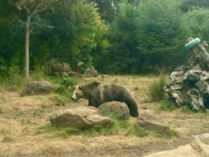 Grizzly bear (Bear Country)