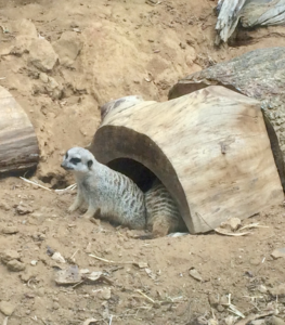 Meerkat (Exploration Zone)