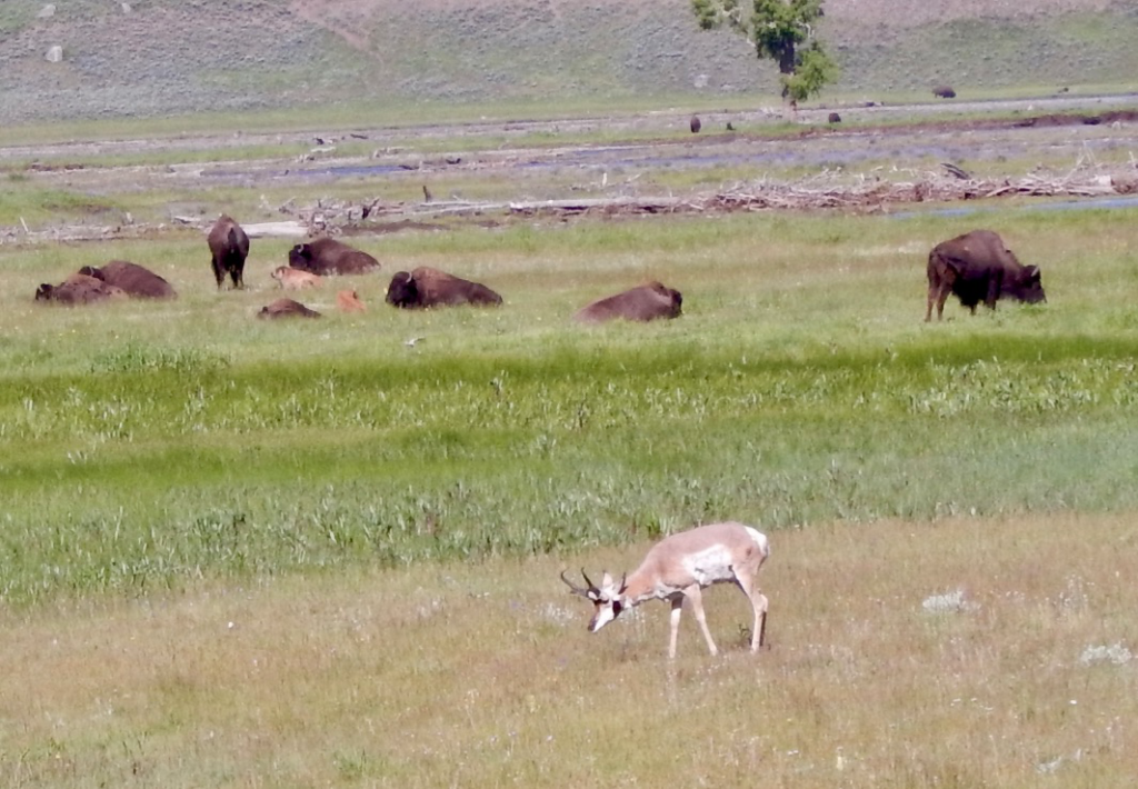 A pronghorn amidst the bison.